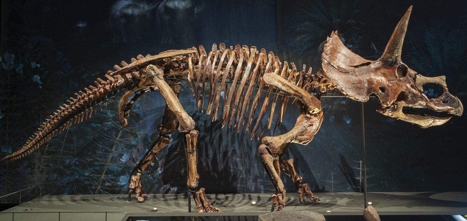 Triceratops Dirk at Naturalis