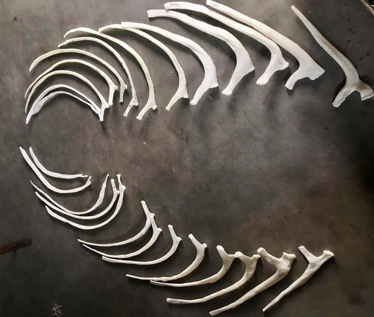 The 26 3D printed ribs of the Triceratops. Picture taken 3 meters above the ground.